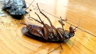 Giant Cockroach Vs Dyson DC59 Stick Vacuum (Warning DYC)