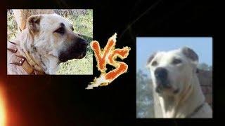 Torneo Perruno 8-16. Kangal vs Bully Kutta