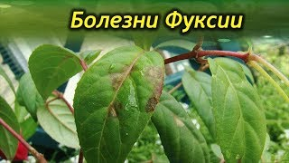 Чем болеют Фуксии? Как вылечить растение?