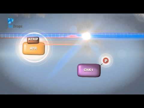 Targeting ATR in Cancer