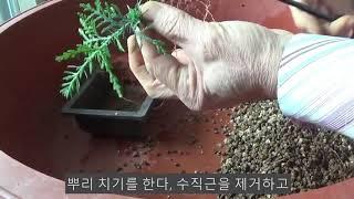 측백나무 미니분재 분갈이
