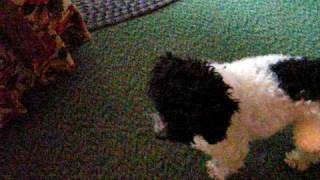 Parti Toy Poodle Playing With White Miniature Schnauzer