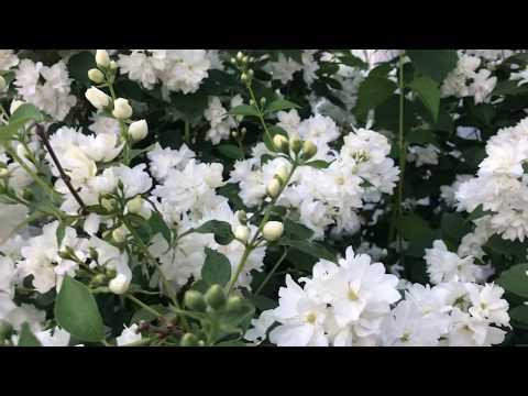 Вопрос: Снежноцвет, какое растение так называют?