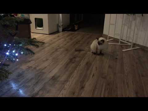 🎄 🐱🐱 Ragdoll cat Musello playing with Christmas Tree 🐱🐱 🎄 FUNNY!