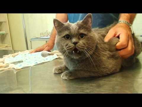 Как долго восстанавливается кошка после стерилизации
