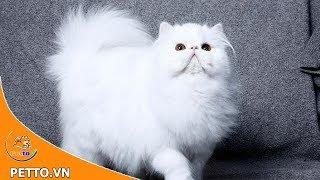 Mèo Ba Tư Nguồn Gốc, Đặc Điểm Và Giá Thành Của Mèo Ba Tư | Petto TV
