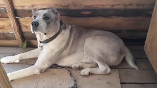 САО.АЛАБАИ/ВОЛКОДАВЫ. Кошки с собаками! Доверяет котенок собаке. /Съеденые косяки двери Алабаем!