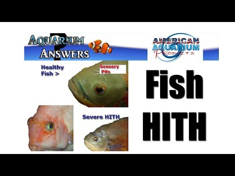 3 Tip Help With Hole In The Head Fish (HITH) Hexamitiasis (HEX)