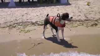 English Springer Spaniel on the beach 2. 泳げないスプリンガースパニ...