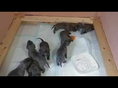 Blue Champagne Pitbull Puppies Born 9/30/2017 - Pack of Pitts