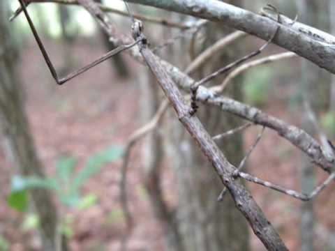 Insecto palo con camuflaje perfecto