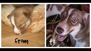 Siberian Husky Grows from Newborn to Adult