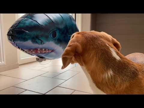 Beagles vs Shark Prank! Funny Dogs Louie & Marie