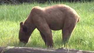 Fuzzy Grizzly of Khutze Inlet