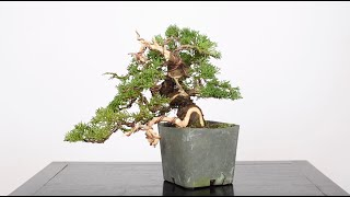 Shohin Juniper Bonsai from Cuttings, Part 2 | Bonsai-U