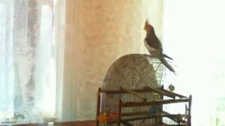 Утреннее пение кореллы Попугай Гоша