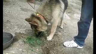 А теперь моя собака ест траву :)