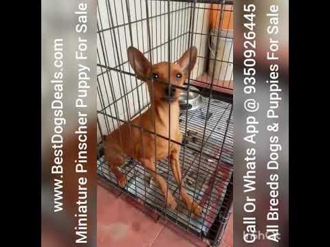 Miniature Pinscher 6 Month Puppy For Sale In Delhi NCR Tamil Nadu Andhra Pardesh Coimbatore Hydrabad