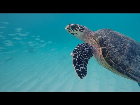 Diving with sea turtles in Barbados! Vlog # 8