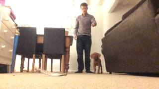 Vizsla Puppy Pointing Practice 8weeks Old!