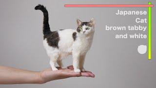 羊毛フェルトで作る猫キジトラ/白 'Japanese Cat /brown tabby and white ' The process of making with wool felt