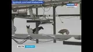 Вести-Хабаровск. Спасение собак