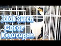 Jalak Suren Gacor Ngamuk Bongkar Isian  Mp3 - Mp4 Download
