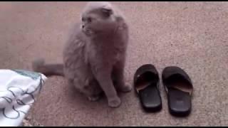 Дрессированный кот заменяет собаку