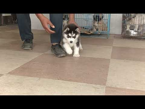 Blue Eyes Siberian Husky Male puppy For sale at arm dog kennel