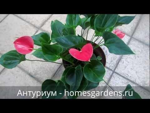 Красавец-антуриум и его розовые цветы