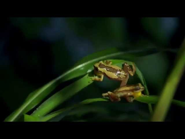 Banana frog karate kicks – Nature's Greatest Dancers: Episode 1 Preview – BBC One