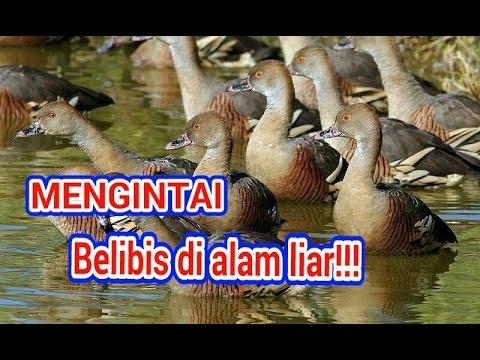Mengintai burung belibis di alam liar!