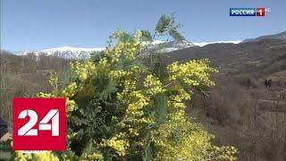 У подножья Кавказских гор идет репетиция сбора урожая мимозы - Россия 24