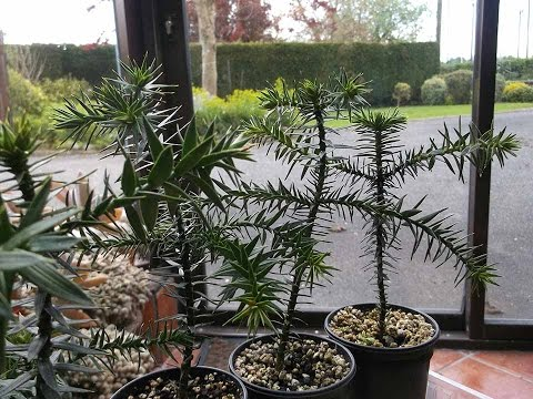 My Monkey Puzzle Tree - Seedlings Update - Araucaria Araucana