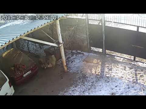 Драка бойцов бультерьер против кавказской Kavazian shepherd dog against the bull terrier 斗牛犬对 1