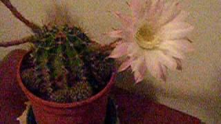 alcuni fiori delle piante grasse vivono solo 24h