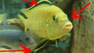 Yellow Fish. Male, Female, how to make a distinction