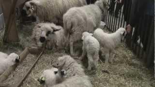 Troupeau de mouton Thônes et Marthod au salon de l'agriculture 2013