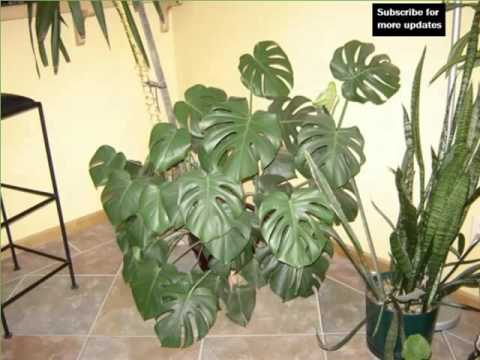 elephant ear philodendron house home of indoor office plants picture collection youtube. Black Bedroom Furniture Sets. Home Design Ideas