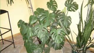 Elephant Ear Philodendron | House - Home Of Indoor & Office Plants Picture Collection