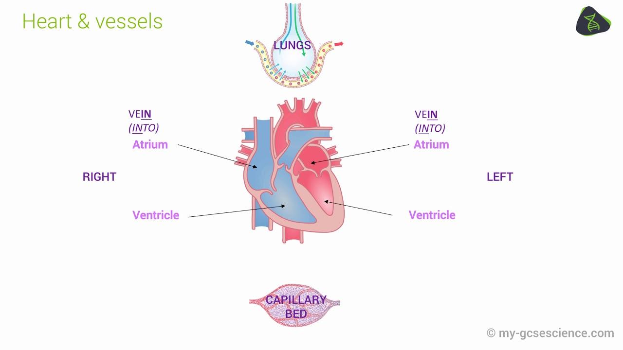 Gcse biology the circulatory system aqa 9 1 youtube gcse biology the circulatory system aqa 9 1 pooptronica Gallery