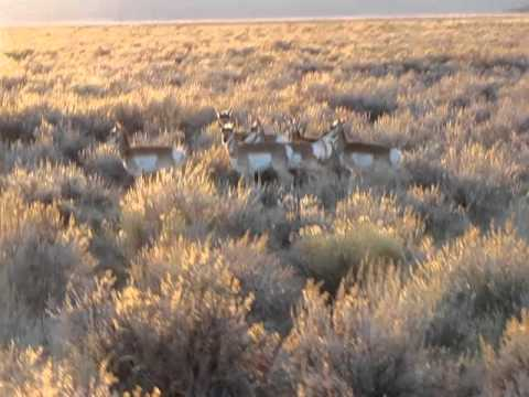Pronghorn in Lassen County