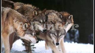wolf role playing forums - rogue wolf role play