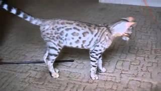 LantanaFly питомник бенгальских кошек - Amelia +