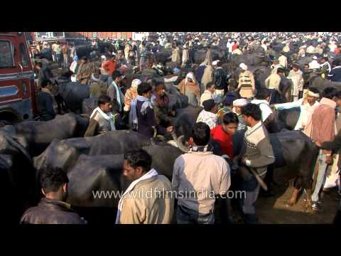 Muzaffarnagar cattle market - Uttar Pradesh