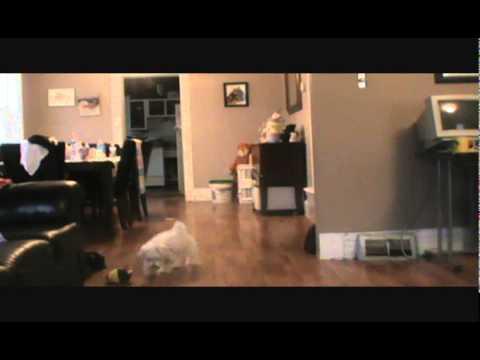 Sammy - Maltipoo Puppy Playing Fetch - Maltese Puppy Poodle Puppy