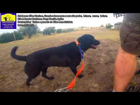 Cão Labrador Retriever no Hotel para Cães  Caniroa