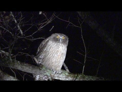 北海道のシマフクロウ Blakiston's Fish Owl (shot On SONY NEX FS700)