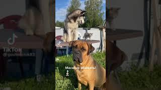 Задира Кошки Собаки Приколы до слёз Смех Смешно Животные Приколы Смешные видео