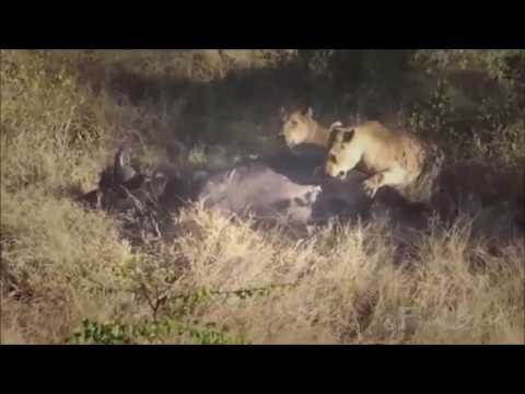The Buffalo Finally Gave In After Six Hours Fight - Lion vs Buffalo(new)